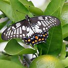 Orchard Swallowtail by dilouise
