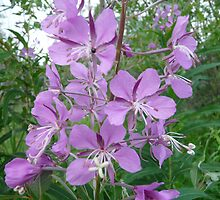 ,Fire Weed  by MaeBelle