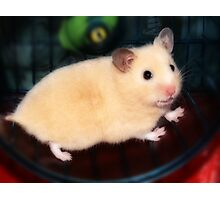 Pipi - the new hamster Photographic Print