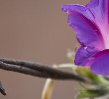 Barbed morning glory wire by Lars Clausen