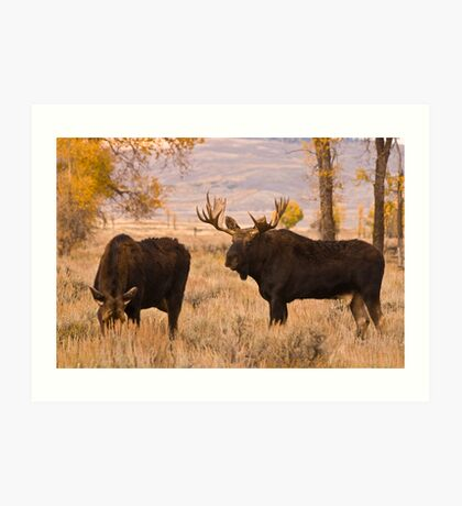 A bull moose, during the rut,  courts a cow along the Gros Ventre River, Jackson Hole, Wyoming Art Print
