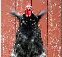 Crazy rooster by Paola Svensson