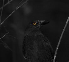 Currawong by David  Hall