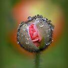Birth of a Poppy by Linda Cutche
