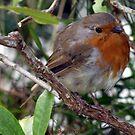 Irish Robin by Eva Saether
