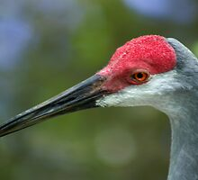 SAND HILL CRANE by Earle Waters
