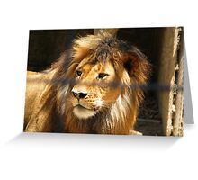 Lion at Adelaide Zoo Greeting Card