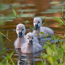 The Baby Swan Trio by byronbackyard