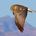 Same Harrier Different Pose by Marvin Collins