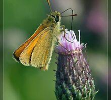 Essex Skipper (Thymelicus lineola) (II) by DonMc