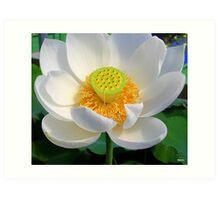 Peaceful Lotus Art Print