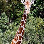 Giraffe Head and Shoulders by Kenneth Keifer