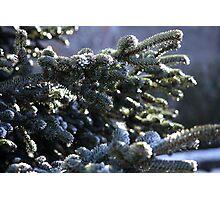 Pine-needle  Photographic Print