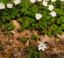 Lone anemone by Lars Clausen