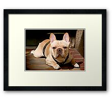 Portrait of a Frenchie Framed Print