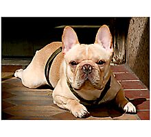 Portrait of a Frenchie Photographic Print