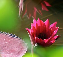 pink lily by Sol Whiteley