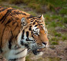 Amur Tiger by NomadicShock