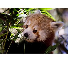 Red Panda.  Photographic Print
