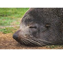 NZ Fur Seal Photographic Print