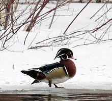 Wood Duck by lloydsjourney
