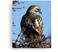 Red Tailed Hawk with a view Canvas Print