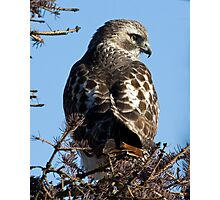 Red Tailed Hawk with a view Photographic Print