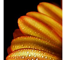 Petals & Pearls by bnilesh