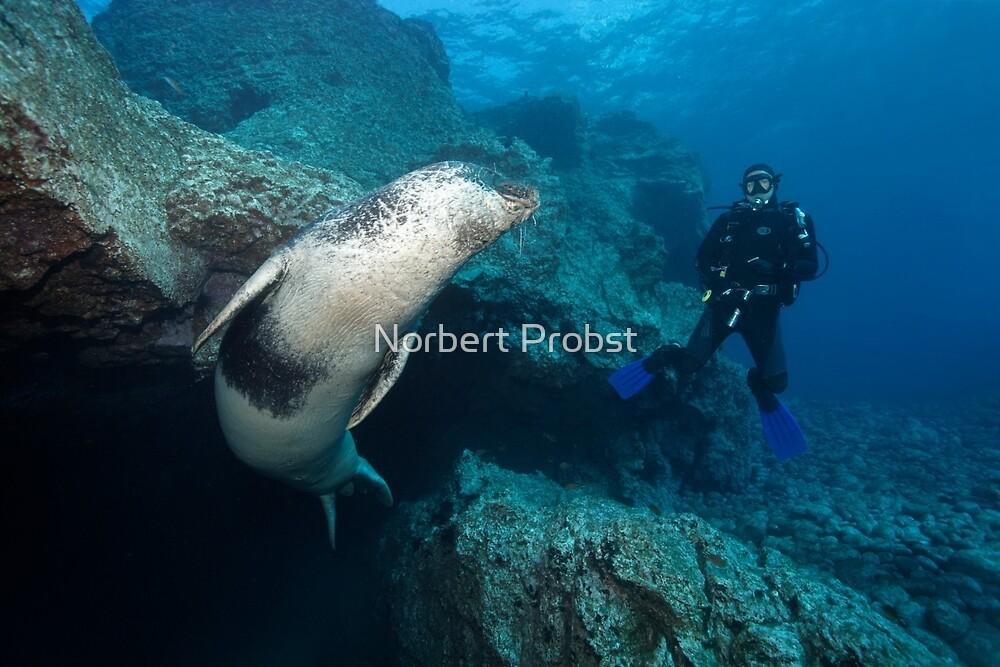Mediterranean Monk Seal by Norbert Probst
