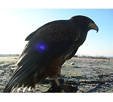 Sirus - Harris Hawk ready in winter Photographic Print