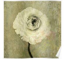 Ranunculus Poster