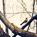 Robin Red Breast by Sylvia Coomes