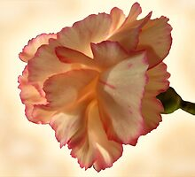 Carnation by jacqi