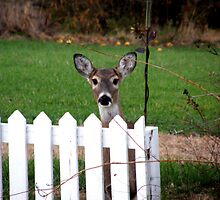 Behind the picket fence by Melissa  W