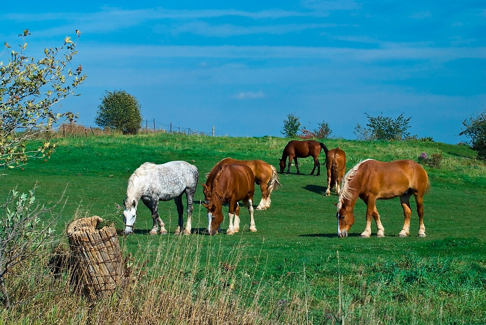 Belgian and Percheron Draft Horses on a Mennonite Farm by MarkEmmerson