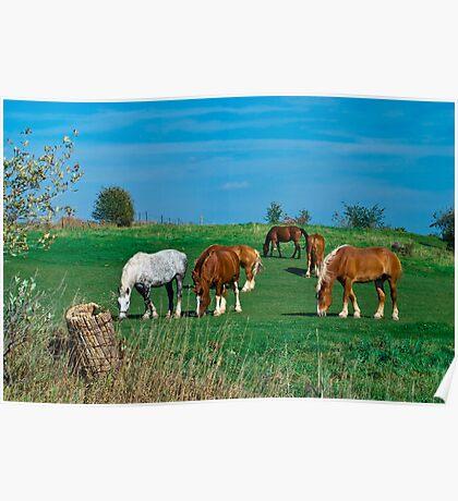 Belgian and Percheron Draft Horses on a Mennonite Farm Poster