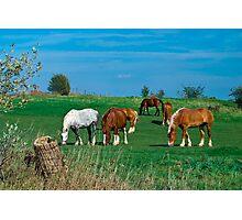 Belgian and Percheron Draft Horses on a Mennonite Farm Photographic Print