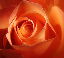 Rose glow by Gary Page