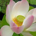 Lotus by Maureen Jochetz