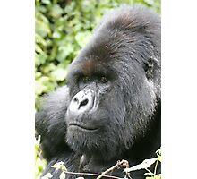 Silverback Mountain Gorilla Photographic Print