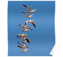 Snow Geese Poster