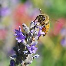Bee on Lavendula by Julie Sherlock