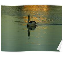 Pelican in golden light on the water Poster