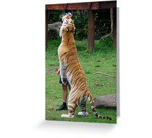 Tiger at Dreamworld Greeting Card