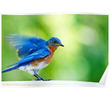 Eastern Bluebird Male with Orton Effect Poster