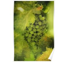 Sun Kissed Grapes Poster