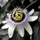 The Passion Fruit Flower by Sprinkla