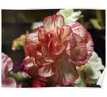 Red and White Carnation Poster