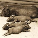 Let sleeping pigs lie by oddoutlet