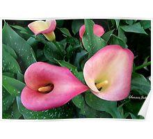 Beautiful, Simple, Colorful Callas Poster